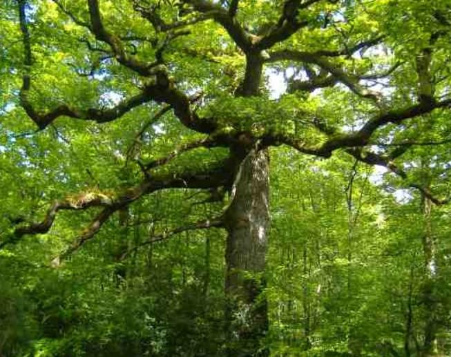 Chene_arbre.JPG